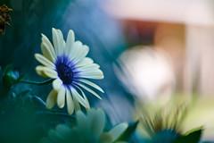 Out Of The Dark (matt.kueh) Tags: flower plant blume bokeh bokehlicious vintagelens m42 depthoffield manualfocus helios44258mmf2 dimorphotecasinuata africandaisy capemarigold