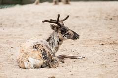 2017-06-25-15h36m36.BL7R1870 (A.J. Haverkamp) Tags: canonef100400mmf4556lisiiusmlens amsterdam noordholland netherlands zoo dierentuin httpwwwartisnl artis thenetherlands rendier rangifertarandus reindeer nl