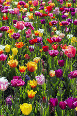Seattle_Tulips_Festival_Flowers_1 (Zero State Reflex) Tags: flowers tulips washington tulipfestival photography canon 5dmark3