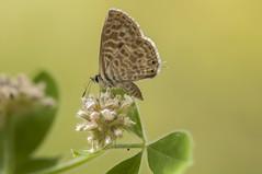 Pequeñita (Aristides Díaz) Tags: leptotespirithous mariposa riodúrcal sierranevada macro sigmaapo180macrof56 pdc licénido granada andalucía
