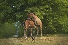 Hayat & Hivory d'Helem (morganegoncalvesphotographies) Tags: poulain poulain2017 jeux horses horsephotography grey free