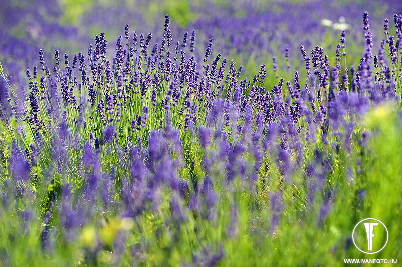 170620_010_lavender