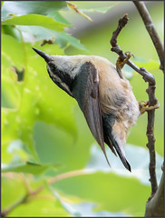 (c)WMH_2017_06_19_8522 Red-breasted Nuthatch (WesleyHowie) Tags: wildlife birds redbreasted nuthatch