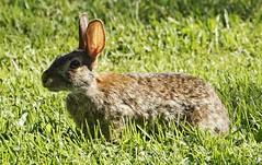Cottentail (timvandenhoek1) Tags: rabbit cottentail animal fauna midwest backyard ruralmissouri missouri countryside grass lawn