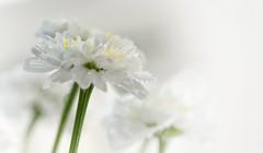 As fresh as a daisy (Mazzlo) Tags: macromonday dripsdropsandsplashes nikon d5500 daisy droplets dew white minimal fresh drenched mazzlo maureenlong