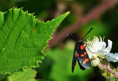Six-Spot Burnet Zygaena filipendulae (pete Thanks for 5 Million Views) Tags: hwcp bokeh lumix macro taskday hillyfields sixspot burnet zygaena filipendulae moth colchester