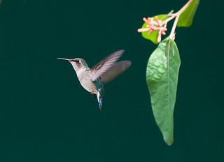 Bee Hummingbird _ Mellisuga helenae