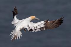 Gannet (Simon Stobart) Tags: flying northengland coat sea gannet bird sunrays5 coth5 ngc npc