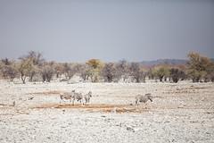 Veld : Zebra 4106 (Ursula in Aus) Tags: africa equuszebra etosha etoshanationalpark namibia mountainzebra plainszebra zebra