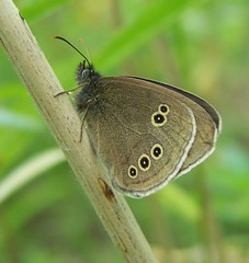 Ringlet (ERIK THE CAT Struggling to keep up) Tags: butterflies shropshire lepidoptera preesheath ngc npc