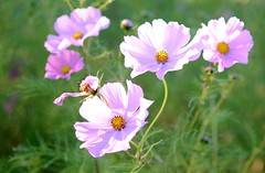 (pris matic) Tags: cosmos flowers sunny day nature bokeh