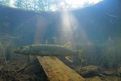 Morning Encounter (Fish as art) Tags: sunbeams sunlight morninglight esoxlucius pikefishing pike poisson underwaterphotographypaulvecsei unterwasserfotografie brochet stream swamp fisheries yukonfishes