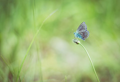 Shining butterfly (marcmyr) Tags: butterfly schmetterling sommer summer nikon d5200 nature natur 50mm bokeh green fresh light shining