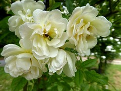 Ghislaine de Féligonde (Rose) (Linda DV (away)) Tags: lindadevolder plantentuin nationalbotanicgardenofbelgium 2017 nature geotagged garden belgium meiseplantentuin meise panasonic lumix ribbet rosa rosaceae whiteflower rosales white flower fleur bloem flor flora