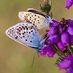 Silver-studded Blue (Plebejus argus) Butterfly (Jud's Photography) Tags: silverstuddedblue plebejusargus silverstuddedbluebutterfly shropshire uk