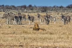 "Games Of The Namibian Veld #7 ""What's The Time Mr Wolf?"" (gecko47) Tags: animals mammals zebra lion equusburchelli pantheraleo namibia veld savannah waterhole predator prey tension etoshanationalpark okaukuejocamp blackmane male"