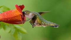 Ruby-throat (snooker2009) Tags: bird hummer hummingbird nature wildlife pennsylvania flight trumpet vine flower