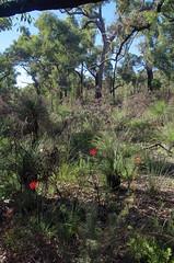 Grevillea wilsonii, Avon Valley National Park, near Toodyay, WA, 09/06/17 (Russell Cumming) Tags: plant grevillea grevilleawilsonii proteaceae avonvalleynationalpark toodyay northam westernaustralia