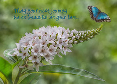 May Your Next Journey Be As Beautiful As Your Last... (Patti Deters) Tags: plant flowers gooseneckloosestrife greeting card best wishes congratulations graduation wedding birth promotion nature butterfly flower gooseneck text texture blue morpho horizontal green loosestrife
