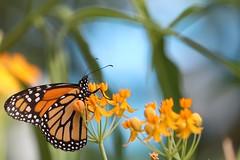 Monarch Buttefly (bnbalance) Tags: monarch butterfly nature macro natural light detail insect blossom bokeh beautifulbutterfly depthoffield macrobutterfly butterflybokeh art summer artistic inspiring creative flower orange new blue garden