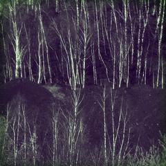 Calmes bouleaux (andrefromont) Tags: andréfromont andrefromontfernandomort fernandomort terril charbon charleroi coaltip coal monceausursambre bouleau birch