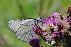 Aporia crataegi (Hugo von Schreck) Tags: hugovonschreck aporiacrataegi baumweisling butterfly schmetterling falter macro makro insect insekt canoneos5dsr tamron28300mmf3563divcpzda010 onlythebestofnature