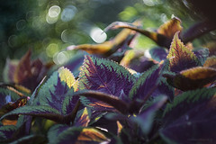 dancing leaves (gnarlydog) Tags: refittedlens adaptedlens vintagelens manualfocus bokeh leaves backlit contrejour swirly bubbles nature australia colorful outdoors fzuiko32mmf17