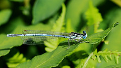 White-legged Damselfly - Platycnemis pennipes (jaytee27) Tags: whiteleggeddamselflymale platycnemispennipes naturethroughthelens