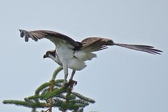 Osprey (Pandion haliaetus) (5of7) Tags: 2017 calgary canada outdoor arbourlake animal bird birdofprey hawk wild wildlife osprey pandionhaliaetus pandion haliaetus diurnal fisheating prey cosmopolitan raptor wings brown upperparts predominantly greyish head underparts fisheagle seahawk riverhawk fishhawk fav 2fav animalia chordata aves accipitriformes pandionidae