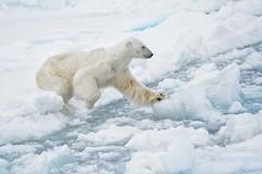 Polar Bear (jkardysphotos) Tags: svalbard polarbear ice driftice
