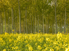 Yellow (theSnoopyG - thanks for over 1/2 million views!) Tags: yellow giallo landscape fields field panorama paysage paesaggio trees tree flowers flower wildflowers wild fiori fioritura bloom blooming abloom summer spring estate primavera nature environment ambiente ranunculus modena italy italia flora