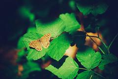 I primi raggi del sole... (icodrom) Tags: farfalla sottobosco foglie ombra