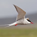 """Arctic Tern (""""Clare"""") Tags:"""