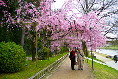 The Romantic Path (johnshlau) Tags: theromanticpath 半木の道 athingofbeauty なからぎのみち kyotobotanicgarden garden romance romantic path walk beauty charm joy kamoriver kamogawa riverbanks river sakura cherryblossoms fullbloom cherry blossoms bloom 鴨川 kyoto japan flowers flora nature pink landscape spring springtime さくら 桜 love