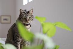 I'm a spy.... (J. Kaphan Studios) Tags: lotus cats caturday tabby greeneyes depthoffield dof