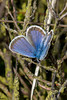 Argusblåfugl, Plebejus argus (LP mudler) Tags: argusblåfugl plebejusargus