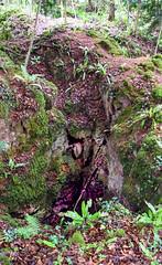 DEVIL'S CHAPEL SCOWLES (3) (Darkroom Daze) Tags: forestofdeandistrict england unitedkingdom greatbritain upperoldparkwoodgloucestershire forestofdean chelfridge bream fieldwork historyofgeology geologicalsocietyoflondon historyofgeologygroup hogg cave mine quarry geology outcrop ironore limestone carboniferous carboniferouslimestone courceyan lowercarboniferous tournaisian crag ravine gully scowles devilschapelscowles dolomite moss creaselimestone dolostone gullyooliteformation blackrocklimestonesubgroup chadian mississippian visean lowerdolomite rock wood woodland fern hartstonguefern aspleniumscolopendrium fieldtrip