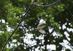 Flying sunbird (Santiram Karmakar) Tags: bird sunbird nature wildlife