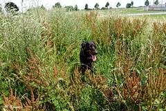 Er wordt niet gemaaid, dat heet milieu (Marja S) Tags: dobermann dogwalk holland hondenwandeling