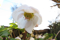 Helleborus niger (gabrielterraz) Tags: combloux hautesavoie france ranunculaceae helleborus
