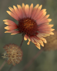 Indian blanket flower (JoelDeluxe) Tags: southvalley newmexico nm deluxevalleyorchards peaches flowers red orange yellow green joeldeluxe