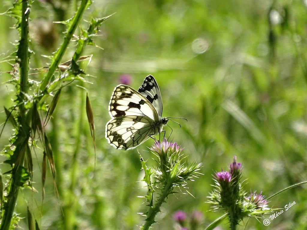 Águas Frias (Chaves) - ... borboleta no cardo ...