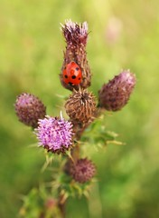 Thistle bloom (ekaterina alexander) Tags: thistle bloom bud buds spiky leaves cirsium arvense wild flower flowers ekaterina england alexander sussex summer nature photography pictures ladybird lady bird