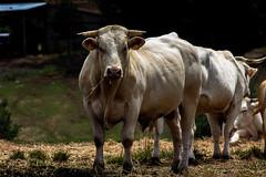 Taureau (Nicolas4065) Tags: cow taureau bovin bovidé élevage ferme farm farming exterieur outdoor outside sudouest gers blond daquitaine ngc