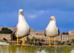 The Couple (Yassine Abbadi) Tags: gull seagull mouette goélant qasbah kasbah tetouan tetuan morocco maroc marruecos birds oiseaux oiseau
