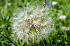 Dandelion (@Dpalichorov) Tags: macro makro closeup close up flower plant grass dandelion taraxacum nikond3200 nikon d3200 nature big outdoor blur bokeh nikonflickraward autofocus