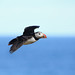 Puffin Fly By