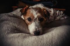 My Favorite Cushion (moaan) Tags: kobe hyogo japan dog jackrussellterrier kinoko cushion indoor outsideisveryhot relaxed cozy lowlight lowlightphotography utata 2017 leicax2