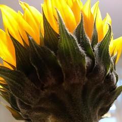 BOTTOMS UP - MACRO MONDAY (Visual Images1) Tags: macromonday bottomsup sunflower