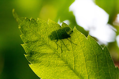 Bottom Up !! HMM !! (Rainer D) Tags: 2017 macromonday bottomup bottom up green leaf outdoor nature bokeholicious bokeh canoneos6def100mmf28lmacroisusm canon6d tabletop closeup macro fly